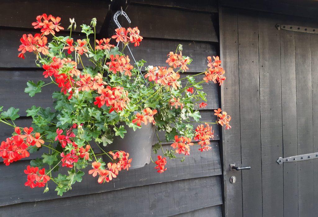 geraniums schuur
